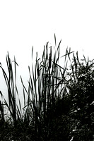 Silhouette black and white cattails