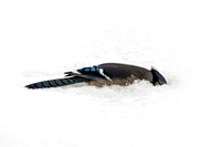 Bluejay diving into snow