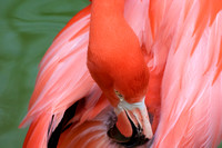 Caribbean pink flamingo scratching that spot light pink feathers