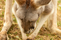 Adorable Red Kangaroo grazing photo print