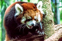 Red Panda climbing about on tree