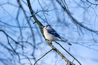 Side view of Blue Jay perched on branch