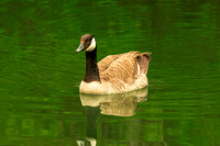 Brown headed Canadian Goose floating on pond