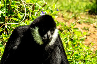Lovely male White-cheeked Gibbon