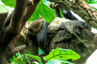 Two-toed sloth mom holding tight animal photo prints