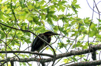 Green-Heron-painterly-perched-on-tree-on-edge-of-Radnor-Lake