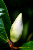 Southern Magnolia soon to bloom
