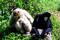 Two White-cheeked Gibbons looking left and right