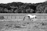 Black and White horse eating hay