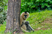 Male White-cheeked Gibbon on ground by tree with mom