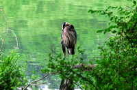 Near the bank of Radnor Lake Great Blue Heron