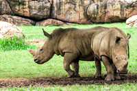 Two female White Rhinos one facing left when facing ahead