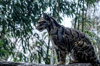 Clouded Leopard on fallen tree side view close