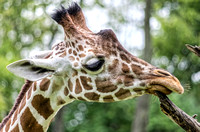 Layla reticulated giraffe with her lower lip on a tree branch