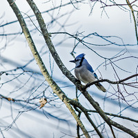 BlueJay perched on branch