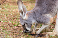 Red Kangaroo grazing on winter grass animal print