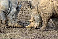 Two White Rhinoceros horns getting closer
