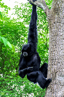 Gibbon holding food hanging from limb