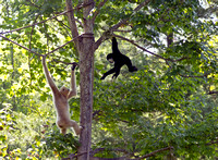 White-Cheeked Gibbon Lending A Hand to Mom Photo Print for sale
