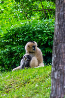 Mom with tongue out baby in lap White-cheeked Gibbons