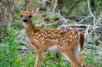 Little White-tail Fawn