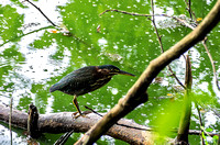 Green Heron on edge of water on a log
