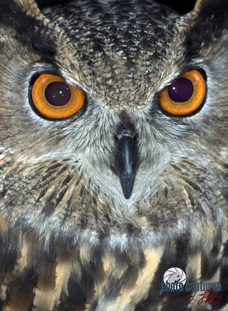 Eurasian Eagle Owl Closeup