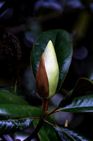Southern Magnolia elegant of a soon to be bloom