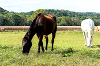 Scenic peaceful scene of two horses grazing
