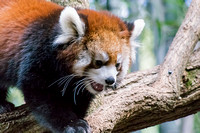 Red Panda with a smile