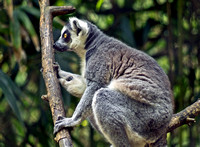 Primate Ring-tailed Lemur Lost In Thought Photo Print for sale