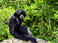 Siamang primate Model photo print for sale Photo Captures by Jeffery