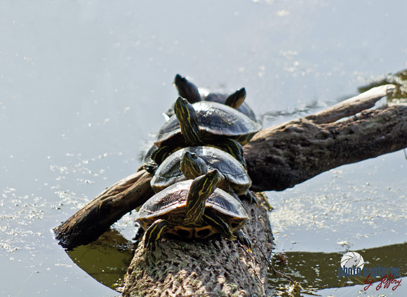 Five Snapping Turtles