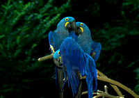 Hyacinth Macaws At Night
