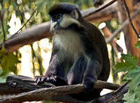 Primate Schmidt's Guenon Relaxing In Tree Photo Print for sale