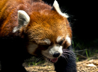 Red Panda Out On The Prowl