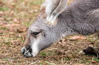 Red Kangaroo sniffing grazing on winter grass