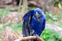 Hyacinth Macaw holding wing feathers