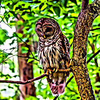 Strix-varia-painterly-Barred-Owl