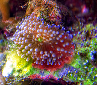 Pink green seed pod coral Unseen New World aquarium
