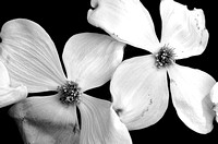 Two blooms on a Dogwood Tree Black and White