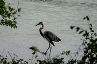 Great Blue Heron near the bank of Radnor Lake