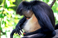 Mexican Spider Monkey grooming himself