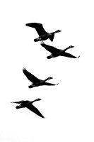 Four Canadian Geese in flight black and white vertical