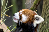Phayara Red Panda mouth partially open