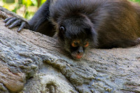 Ateles geoffroyi vellerosus Spider Monkey head laying down on tree looking down