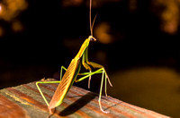 Winged Stick bug Mantis arm resting on knee