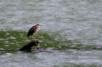 Green Heron perched on a fallen tree in the waters of Radnor Lake