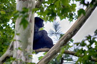 Siamang Gibbon sitting high up a tree on a limb