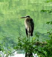 Great Blue Heron Perched small log Radnor Lake